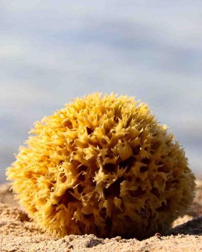 Natural Sea Sponge ARCIPELAGO (half-processed), 12 cm Siciliana.lt